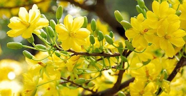 unnamed file 138 1 - Tả cây hoa mai lớp 7 hay nhất